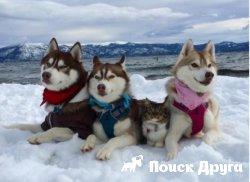 Хаски приняли в семью кошку