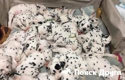 Далматинец родила рекордные 18 щенков