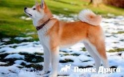 В Японии прошла выставка собак акита-ину