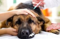 В России проведут операцию по пересадке почки собаке
